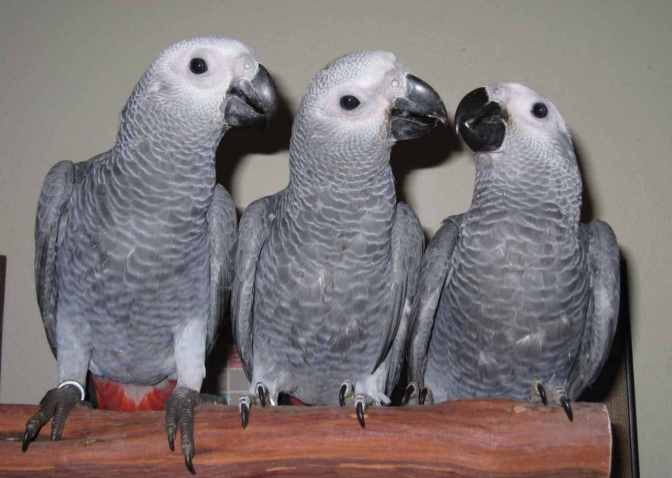 baby-congo-african-greys-for-sale-525bededbb981